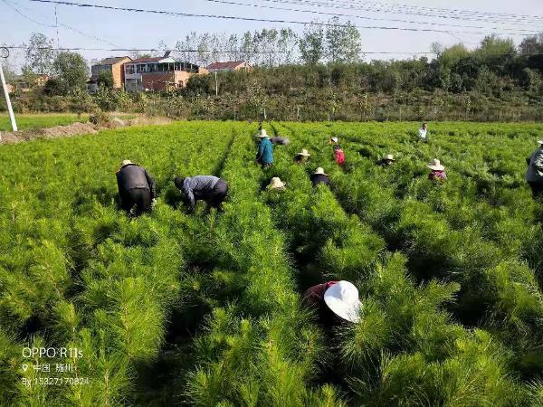 厂家直销6-15公分湿地松 各种规格齐全 质优价廉示例图1