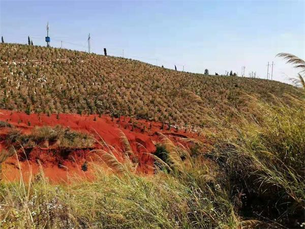 湿地松基地直销1-4年生优质湿地松  欲购从速示例图1