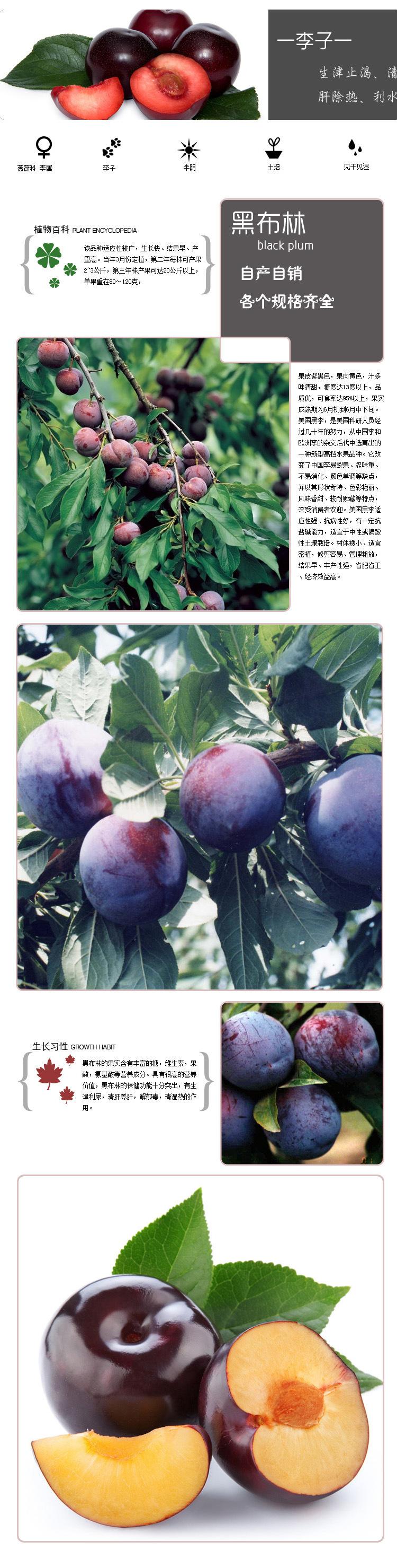 果树苗李子树苗 红布林 南方北方种植嫁接苗新品种盆栽地栽示例图9