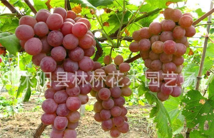 批发果树种苗 夏黑葡萄苗 美国红提夏黑葡萄苗 高成活率种苗图片
