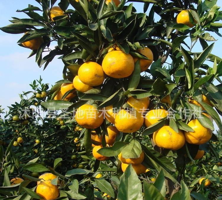 直销水果树苗盆栽地栽桔子树苗早熟无籽蜜桔砂