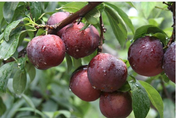果树苗李子树苗 红布林 南方北方种植嫁接苗新品种盆栽地栽示例图8