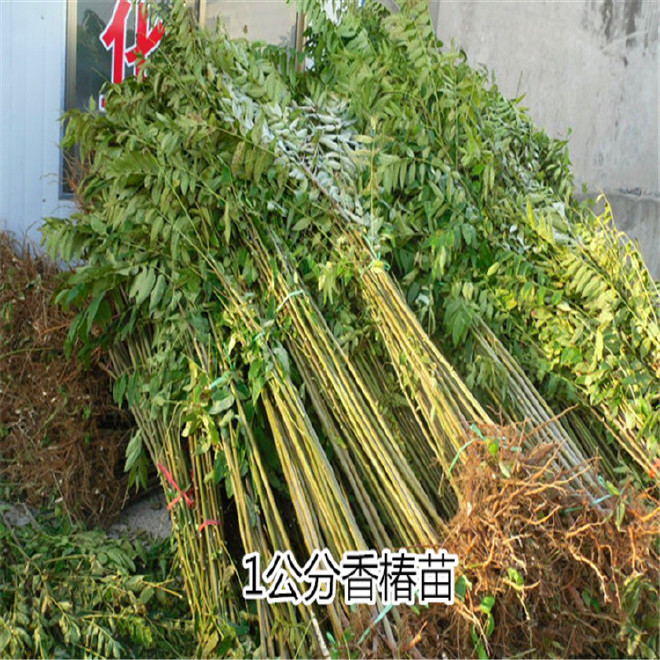 优质香椿苗品种纯正  欢迎大量选购  红油香椿苗价格优惠