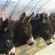 山东 好品质肉驴专业养殖出售 肉驴 ,肉驴 价格低量大优惠 货到付款