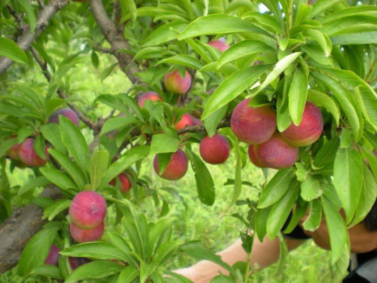 果树苗李子树苗 红布林 南方北方种植嫁接苗新品种盆栽地栽示例图5