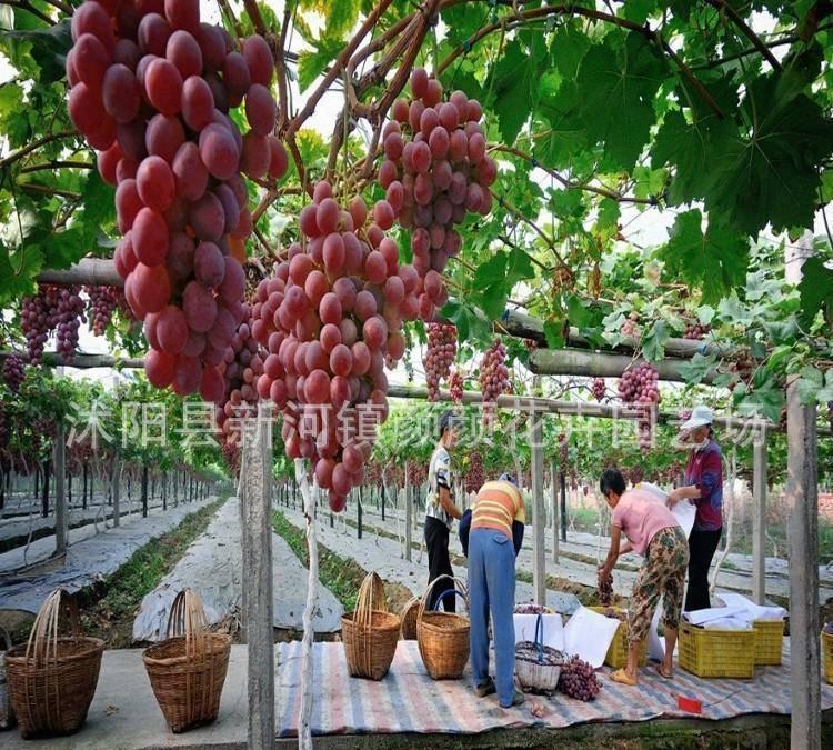 现货批发果树种苗 夏黑葡萄苗 美国红提夏黑葡萄苗 高成活率种苗图片