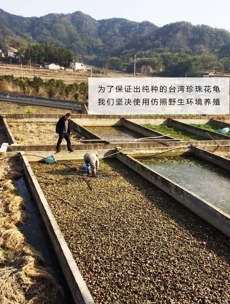 中华花龟台湾草龟珍珠龟外塘长寿龟宠物龟龟苗