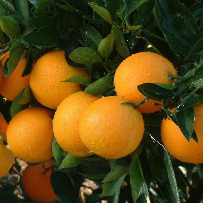 批发橙子 农特产品红肉赣南血橙 新鲜营养丰富