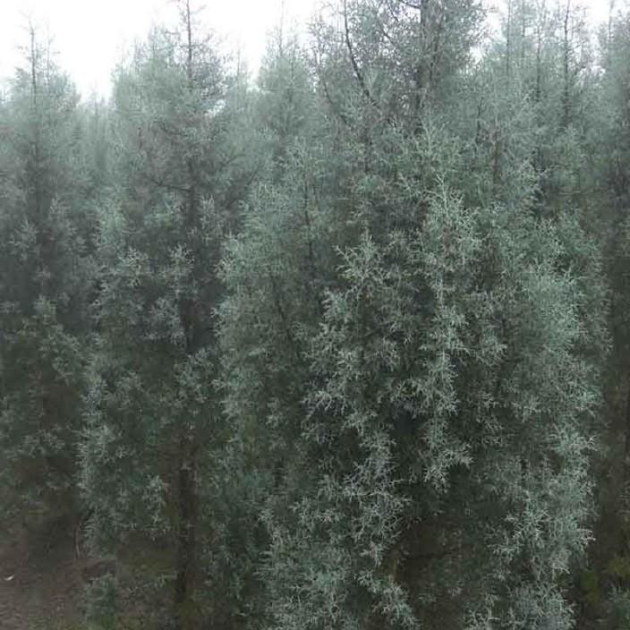 北方50公分蓝冰柏树批发直销 优质蓝冰柏树长期供货 优选绿影园林
