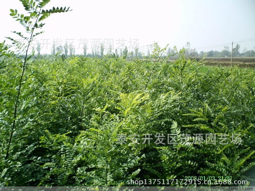 长期供应乔木国槐 工程绿化苗木 各种规格齐全国槐苗 批发销售