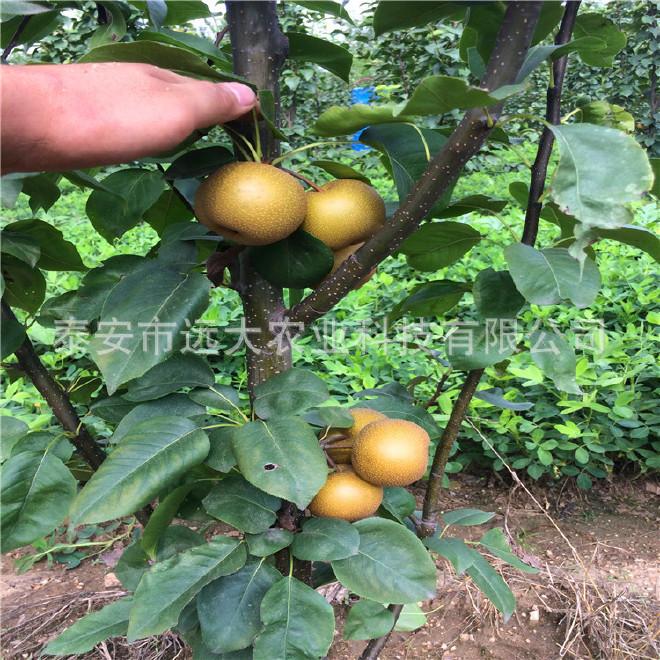 远大农业基地大量批发优质梨苗  秋月梨苗价格优惠 品种纯正