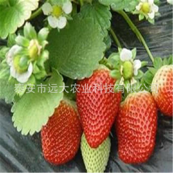 紅顏草莓直銷價格優惠 四季草莓 成活率高 當年結果可盆栽.