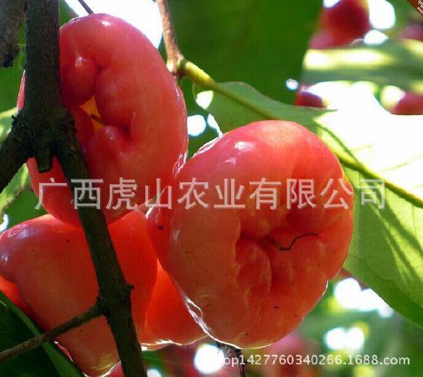热带新鲜水果莲雾果黑金刚水果特级大果5斤
