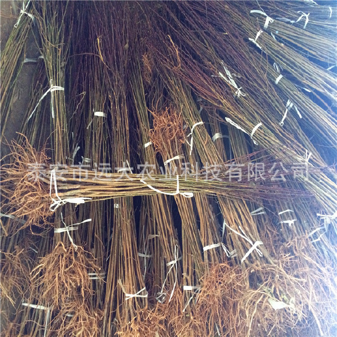 李子苗品种齐全  基地大量批发优质李子苗 晚熟品种李子苗