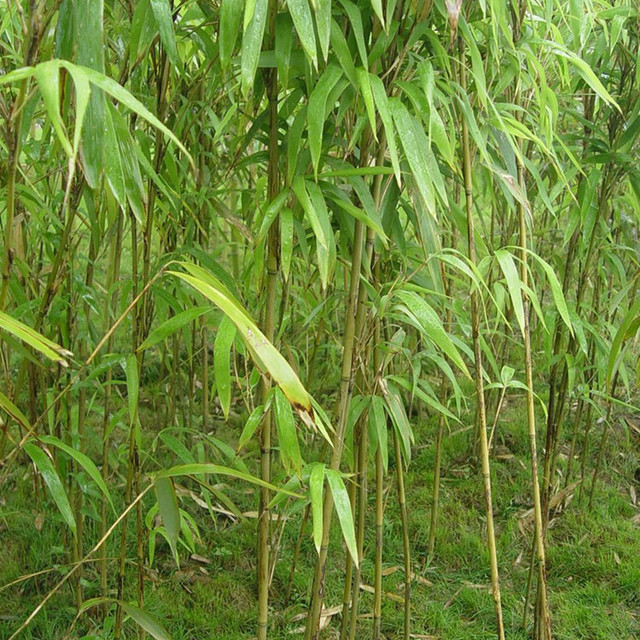 批发茶秆竹质量优可做鱼竿韧性佳绿篱庭院观赏绿化工程 芊色苗木