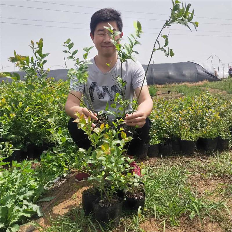 藍豐藍莓苗 博郡農業基地批發適合南方種植3年藍莓樹苗 奧尼爾藍莓 薄霧藍莓苗 提供技術示例圖9