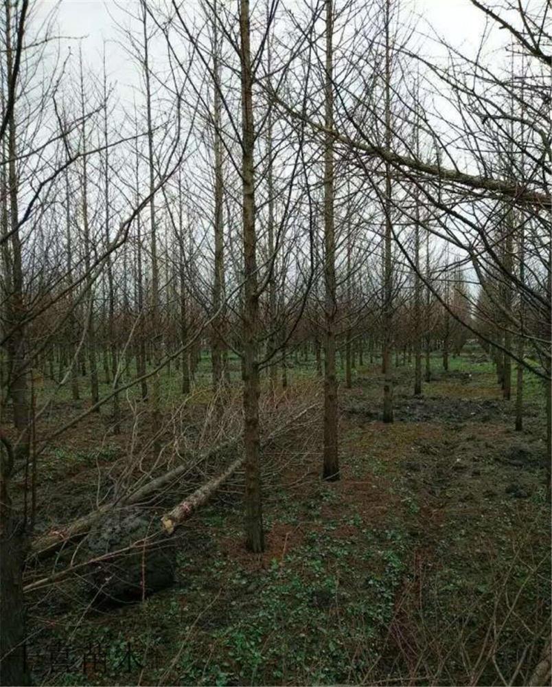 千喜苗木供应水杉 1-20公分水杉行道树 小苗 质优价廉示例图2