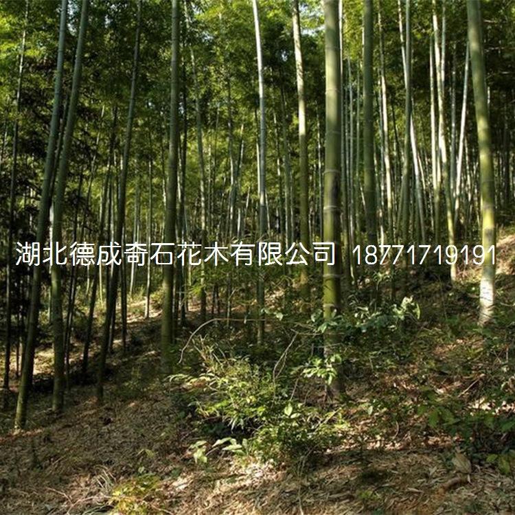 竹子园林绿化用竹子窝竹毛竹篮竹竹子批发竹子价格刚竹青竹示例图3