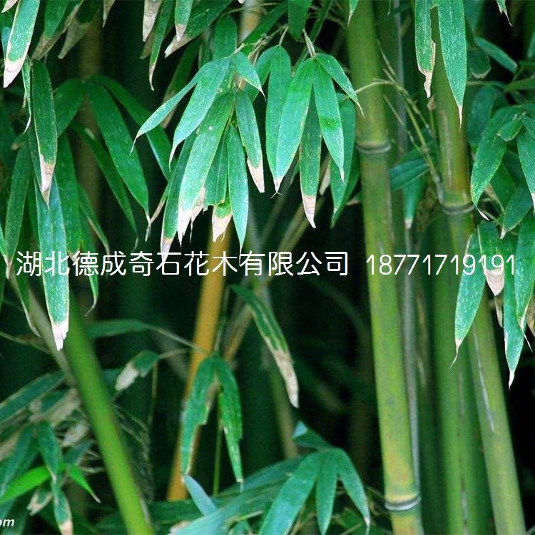 竹子园林绿化用竹子窝竹毛竹篮竹竹子批发竹子价格刚竹青竹示例图6