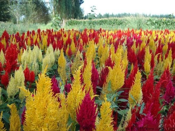 红色黄色火焰矮生鸡冠花图片