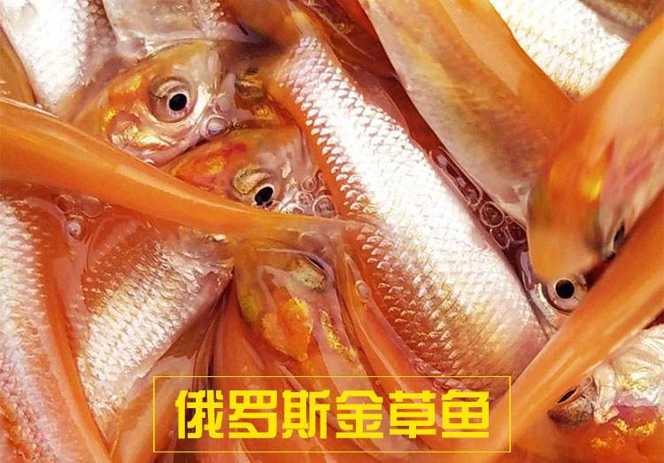 金草鱼苗,鲩鱼苗 草鱼 鱼苗 鲈鱼苗 草鱼苗示例图3