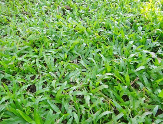 大叶油草草坪图片