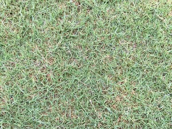 台湾草坪发芽出苗图片