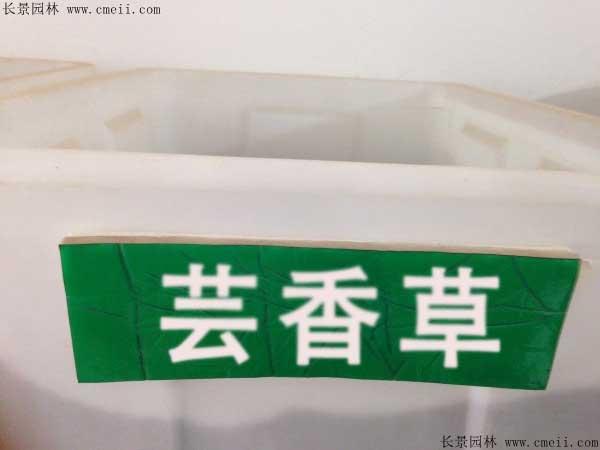 芸香草种子图片
