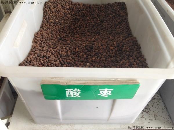 酸枣种子图片