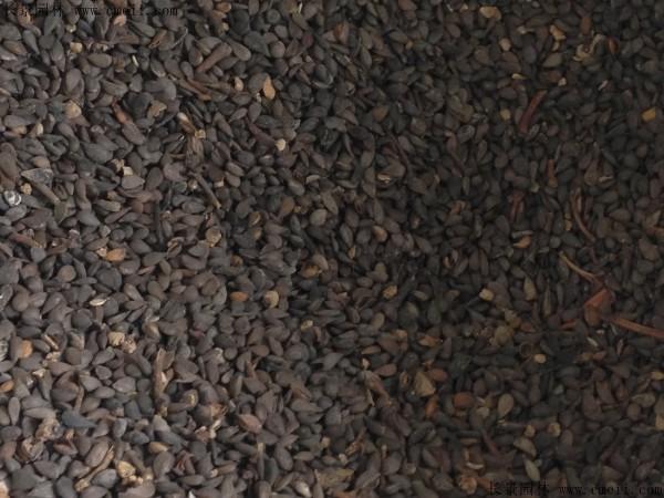 梨树种子图片