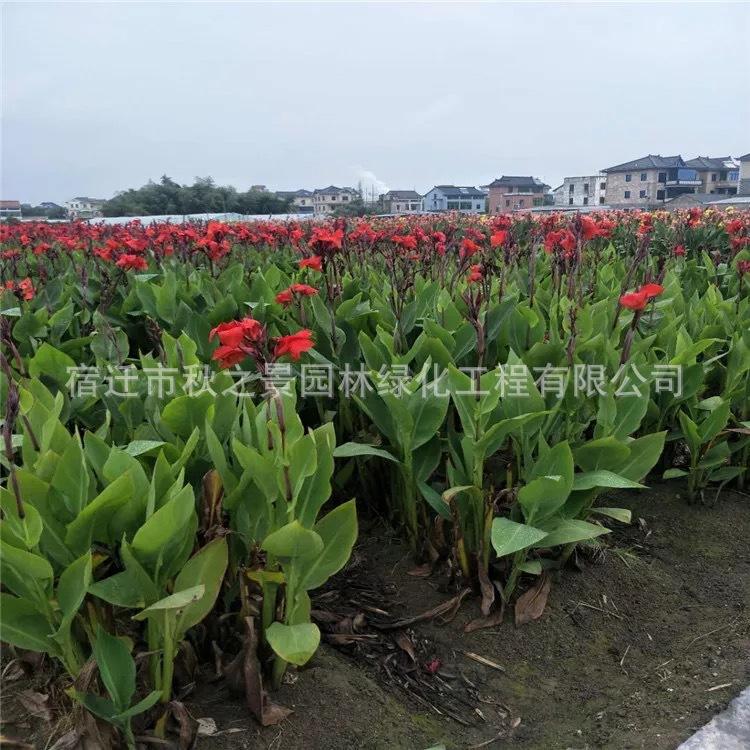基地直销红花美人蕉 黄花美人蕉 园林绿化植物  量大从优示例图2