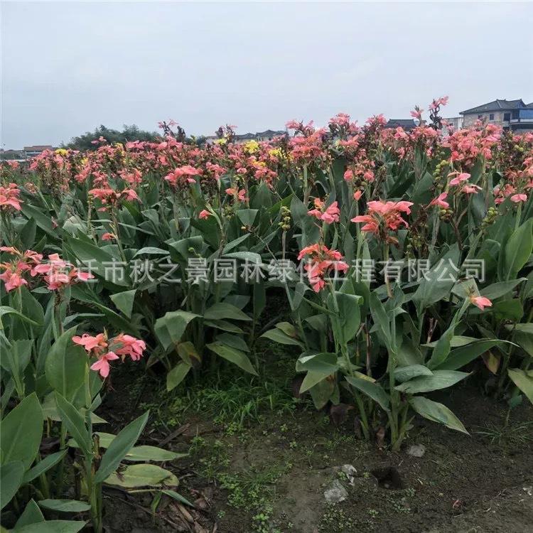 基地直销红花美人蕉 黄花美人蕉 园林绿化植物  量大从优示例图6