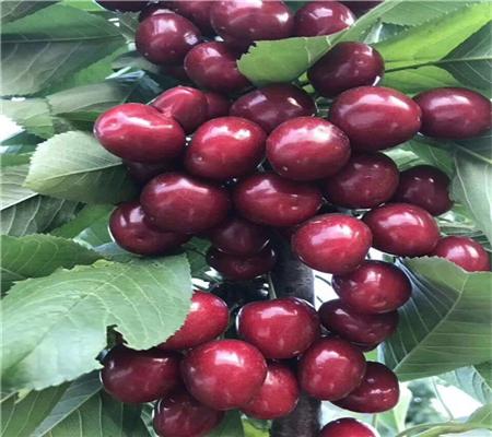 新品种瑞德樱桃树批发
