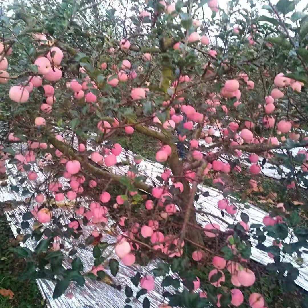 苹果 山东红富士苹果 诚磊红苹果批发  甘脆苹果价格
