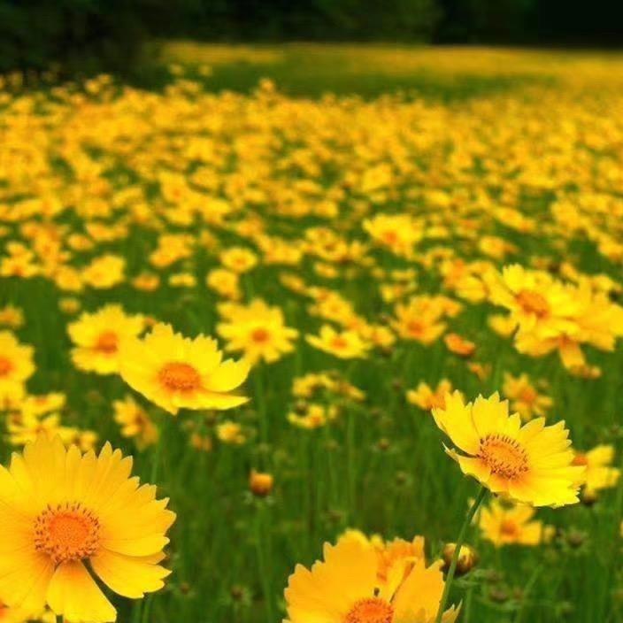 金鸡菊种子 多年生花卉种子批发 道路绿化花卉 博伦花卉种子品种齐全 免费开票