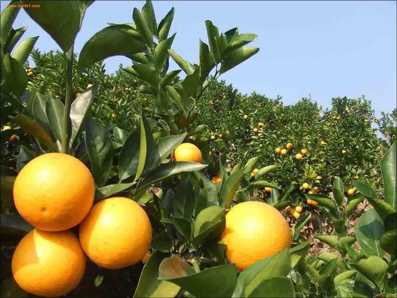 厂家甜橙单方精油批发 纯天然植物甜橙精油供应OEM加工