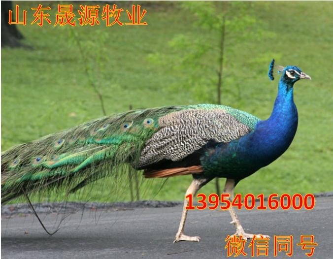 高存活率孔雀苗 特种养殖孔雀活体 孔雀苗批发包邮示例图4