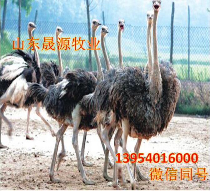 鸵鸟哪有卖的,养殖鸵鸟需要什么手续,哪有鸵鸟养殖场示例图9