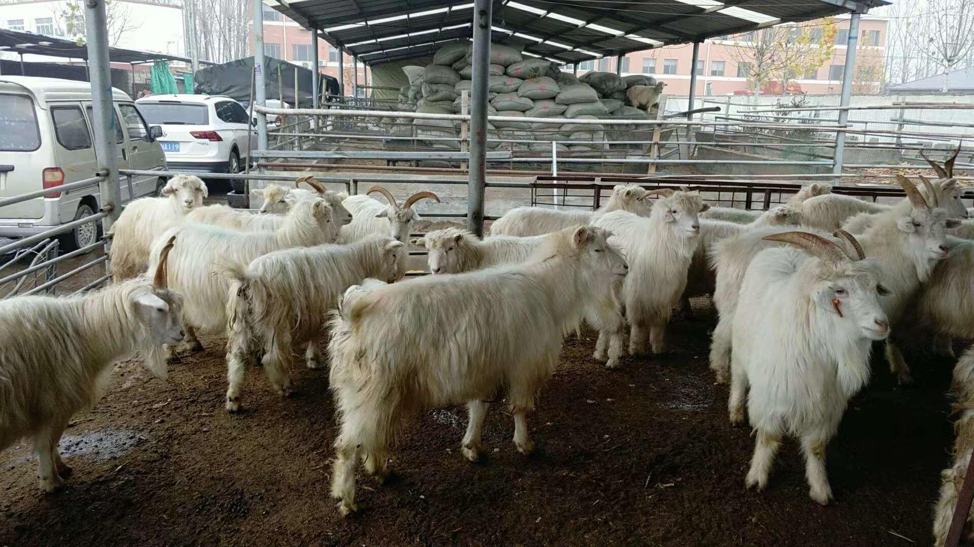 专业养殖绒山羊,绒山羊肉驴厂家直销,绒山羊批发,绒山羊价格示例图2
