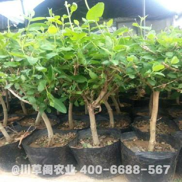 金銀花種植效益 金銀花種植技術規程 優質原種苗
