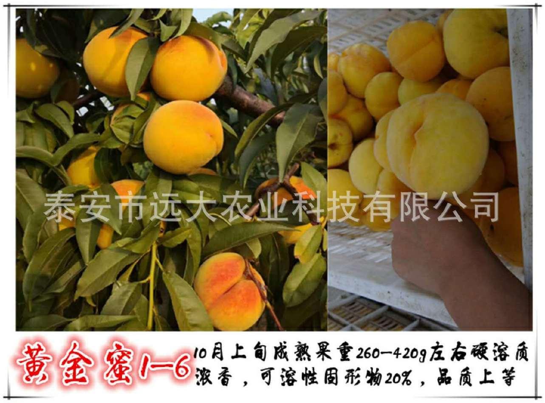 映霜红桃树苗  桃苗价格优惠 成活率高达98% 晚熟雪桃品种示例图2