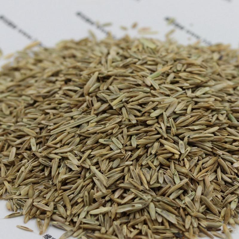 护坡高羊茅种子批发   一斤起发货  高羊茅种子价格   量大优惠