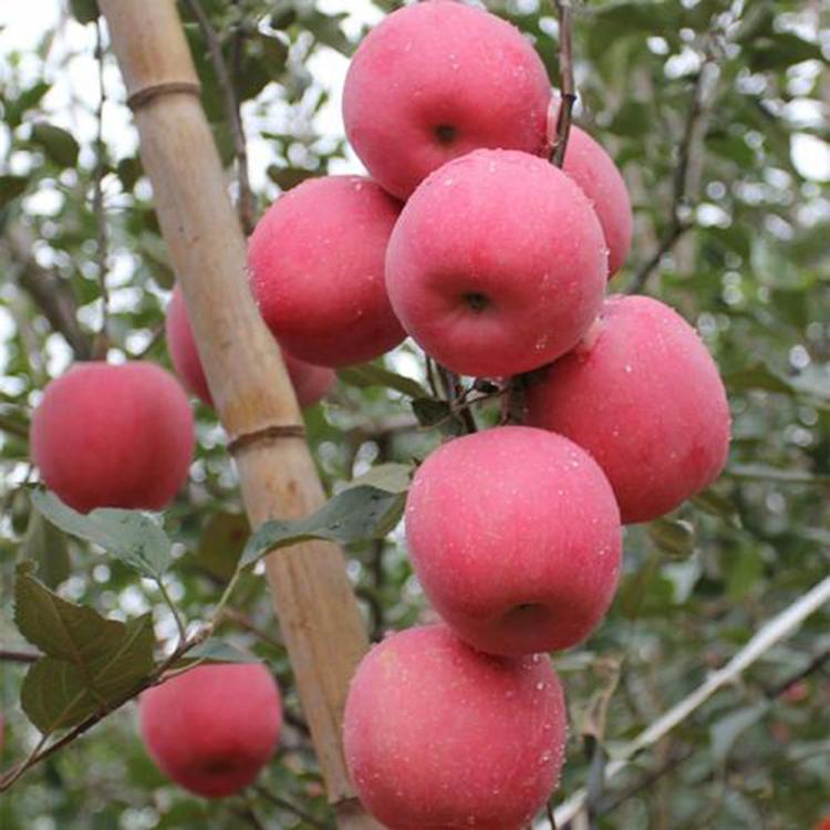 苹果苗早熟品种  矮化乔化鲁丽苹果苗 基地大量批发鲁丽苹果苗 诚萱园艺