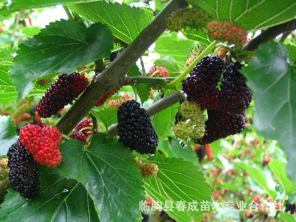 供应广州果树苗 紫椹 桑树苗 果桑苗 花果极多 苗纯价低示例图5