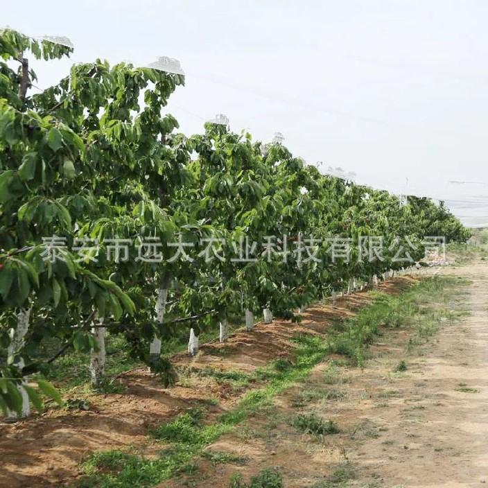 直銷櫻桃樹苗 嫁接車厘子櫻桃樹 品種純正 成活率高 美早櫻桃樹示例圖16