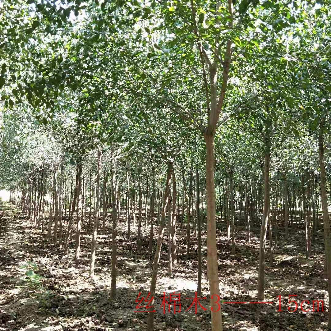 絲綿木 8公分絲綿木 河南基地大葉絲棉木價格 規格齊全 主干高2.2米
