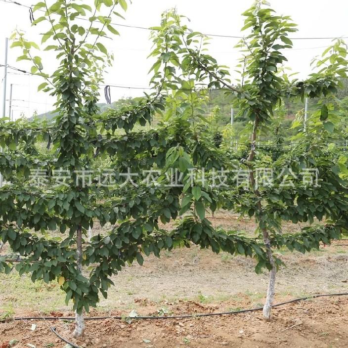 直銷櫻桃樹苗 嫁接車厘子櫻桃樹 品種純正 成活率高 美早櫻桃樹示例圖14
