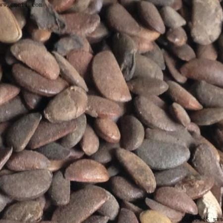 优质柿树种子  长景园林   柿树种子批发零售