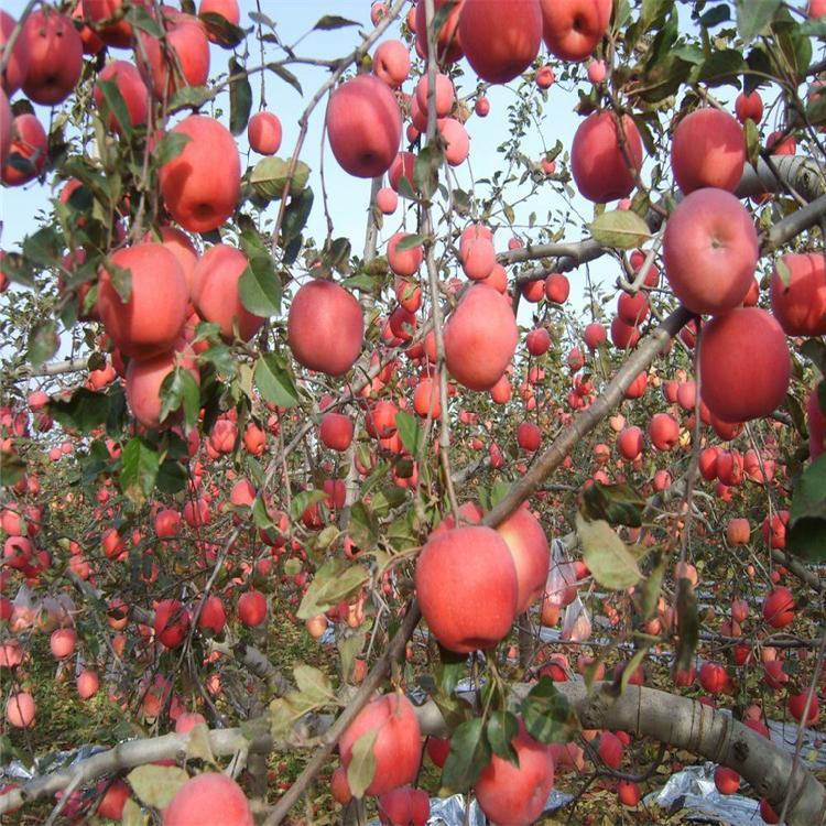 红肉苹果苗子批发 苗木红肉苹果苗 红肉苹果树苗品种纯 茂源园艺