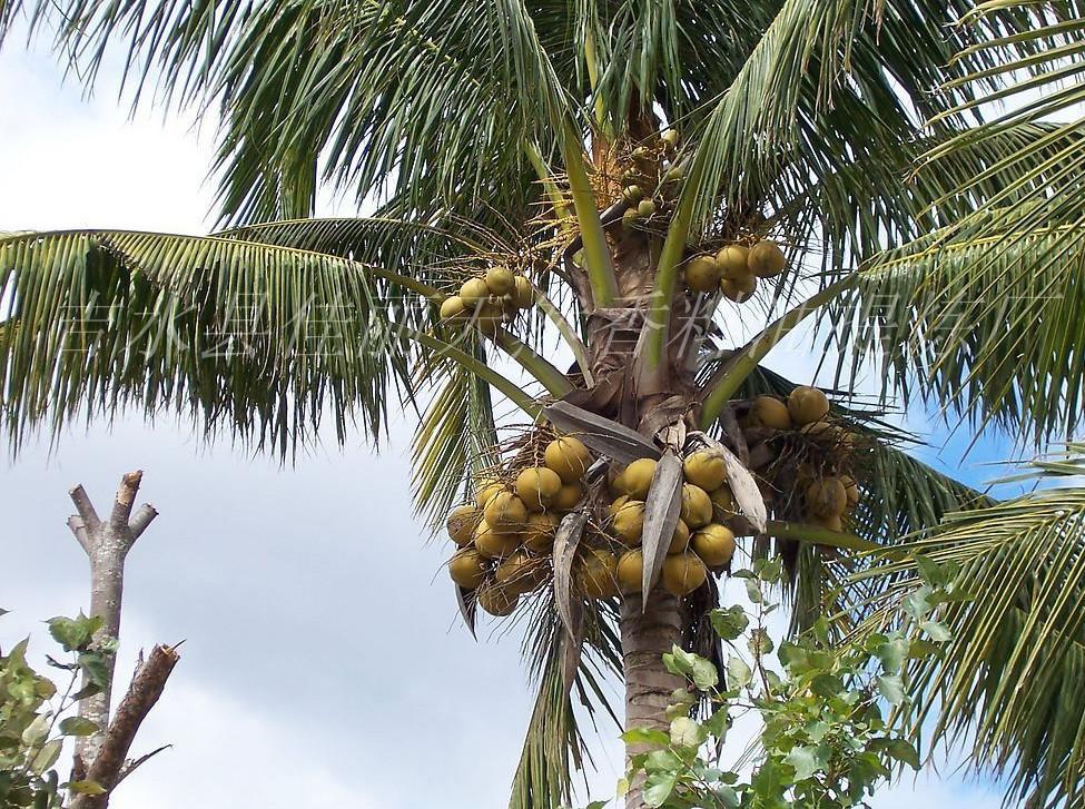厂家椰子单方精油批发 进口天然植物椰子精油供应OEM加工